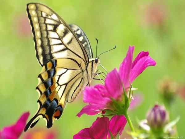 Mơ thấy bươm bướm