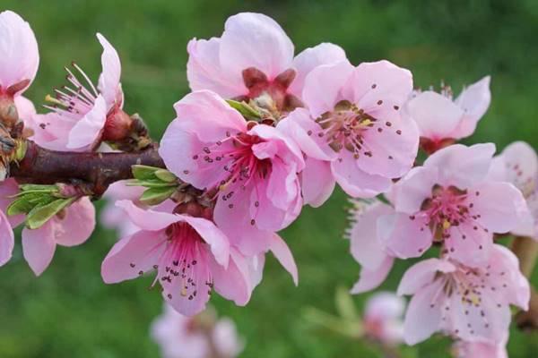 Nằm mơ thấy hoa đào đánh con gì đánh số mấy hôm nay